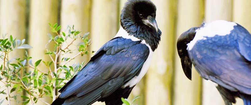 Una pandilla de cuervos pío: los nuevos vecinos de La Isleta