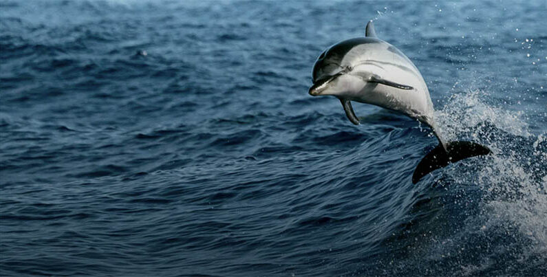 COVID-19 en animales: ¿Son los delfines más vulnerables que los murciélagos?