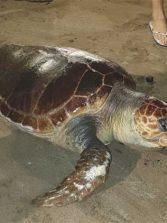 Aparecen sin vida en Las Canteras dos ejemplares de tortuga boba (Caretta caretta)