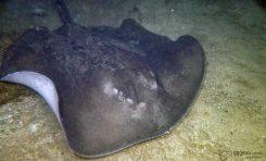 El chucho negro, un nuevo vecino en el acuario de Las Canteras