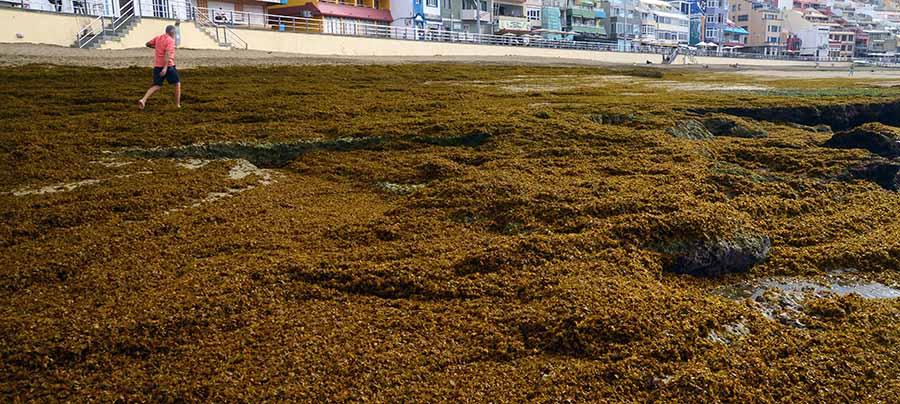 200 toneladas de algas han sido extraídas de Las Canteras en los últimos días