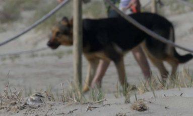 Los perros que se pasean por la playa afectan mucho más a las aves que la presencia humana