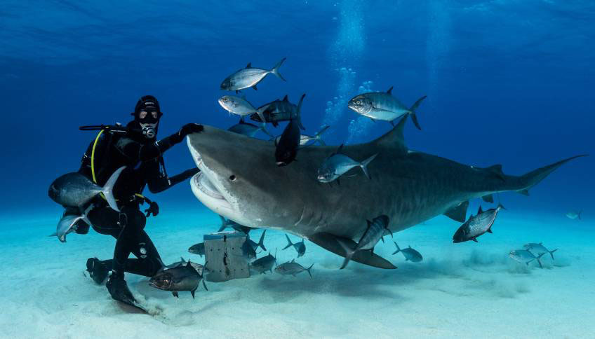 El tiburón tigre es más antiguo de lo que se pensaba