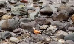 Los polluelos de tarro canelo rescatados en la Cicer ya se recuperan en el centro de recuperación de fauna silvestre