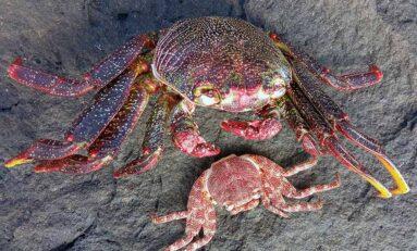 La muda de los crustáceos