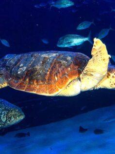 Este lunes se devuelve al mar en Las Canteras una tortuga rescatada en estado critico